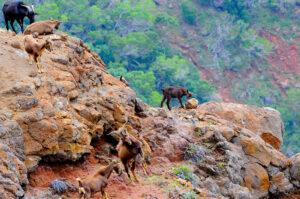 Kalalau Goats